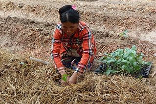 woman farmer planting seedlings into a mulched row