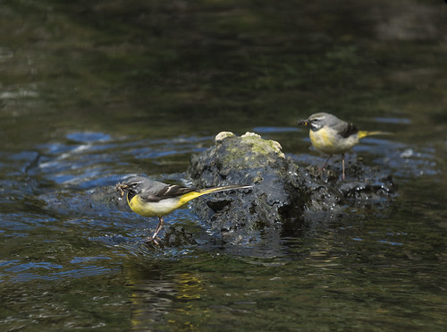 Grey Wagtails, Langford, 26th April 2016
