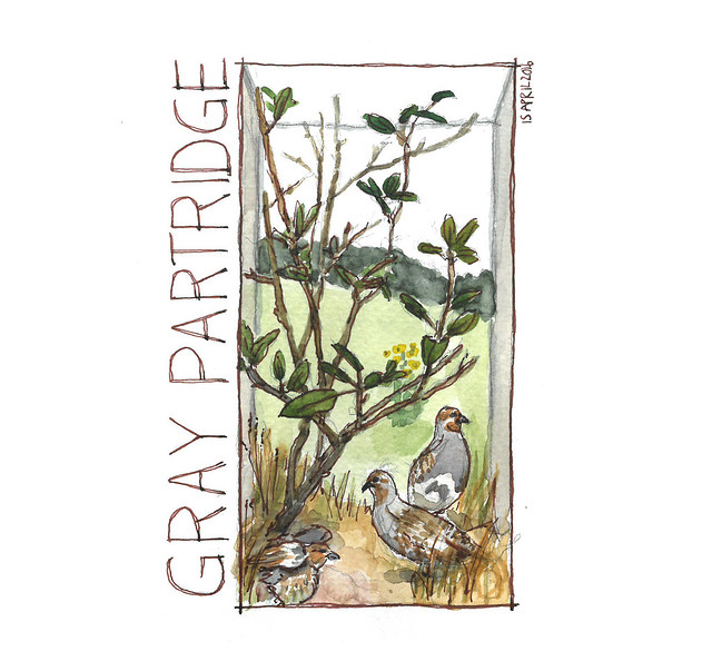 20160415 Bell Museum - Gray Partridge