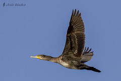 Vuelos de aves (Bird flights). Cormoranes (cormorans)