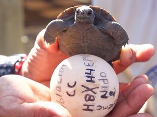 Schildpaddenkwekerij - Tortoise nursery