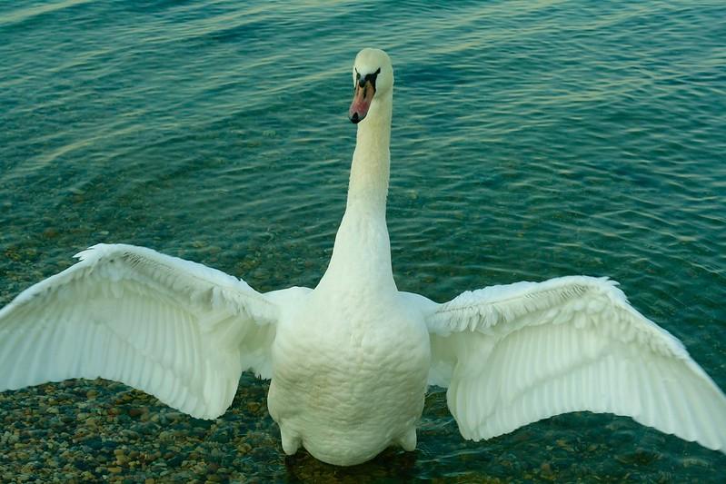 Thug Swan
