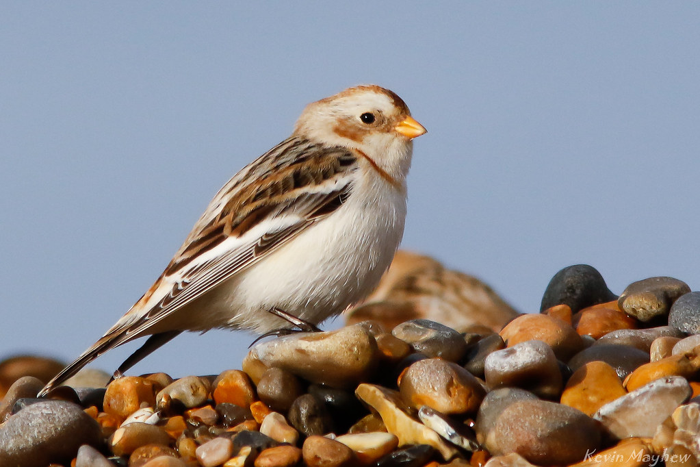 Snow Bunting_82A0372