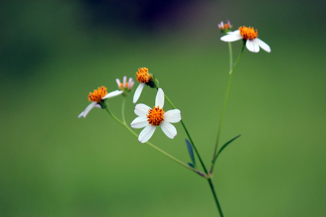 Flor - Macro