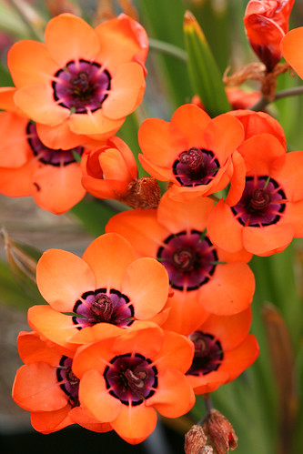 sparaxis elegans group