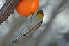Verdin with Orange
