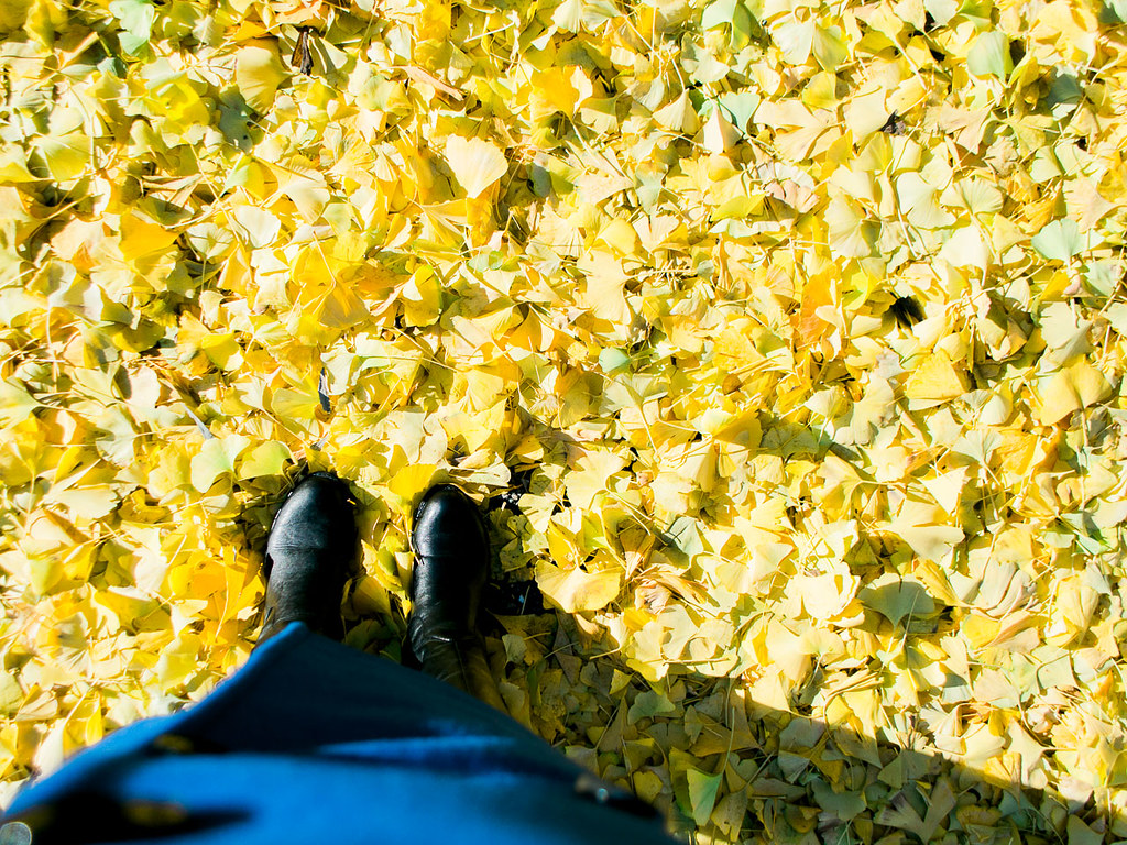 Carpet of ginkgo leaves in Kawagoe