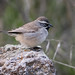 Black-throated Sparrow 7D043894 by Melissa Kung