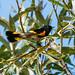 IMG_9875  American Redstart - warbler