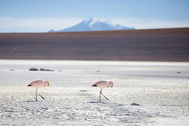 Flamingo on the salt flat of Salar de Uyuni.
