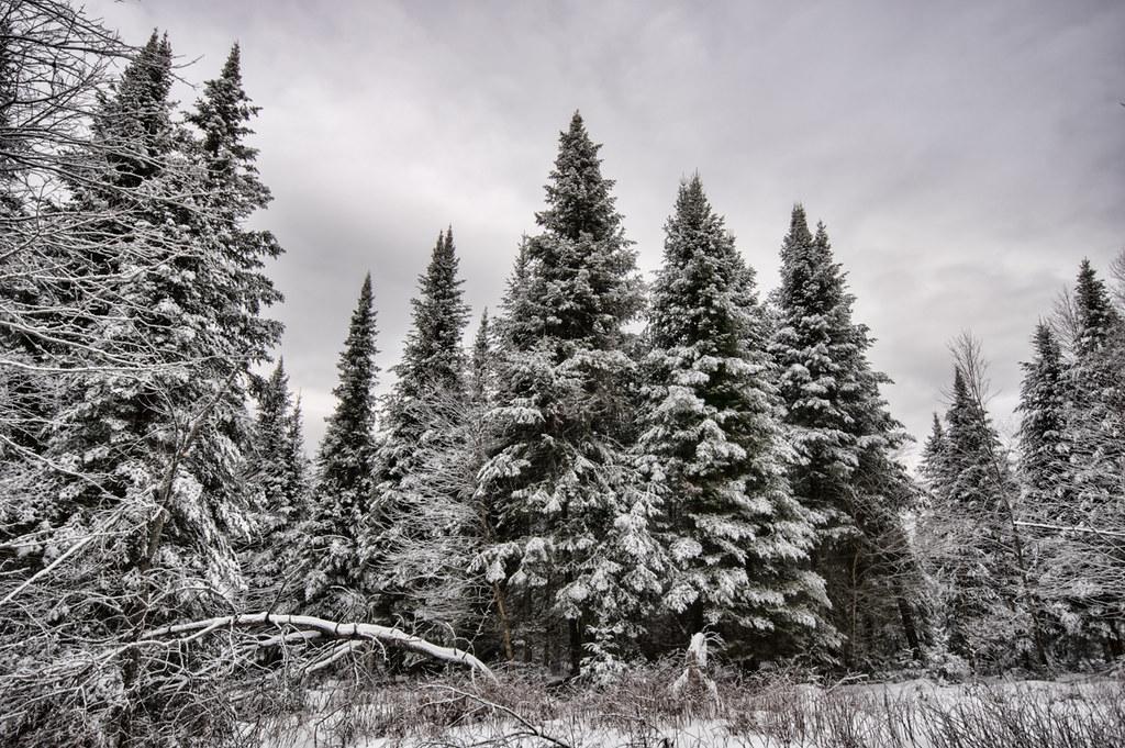 XMas trees-2