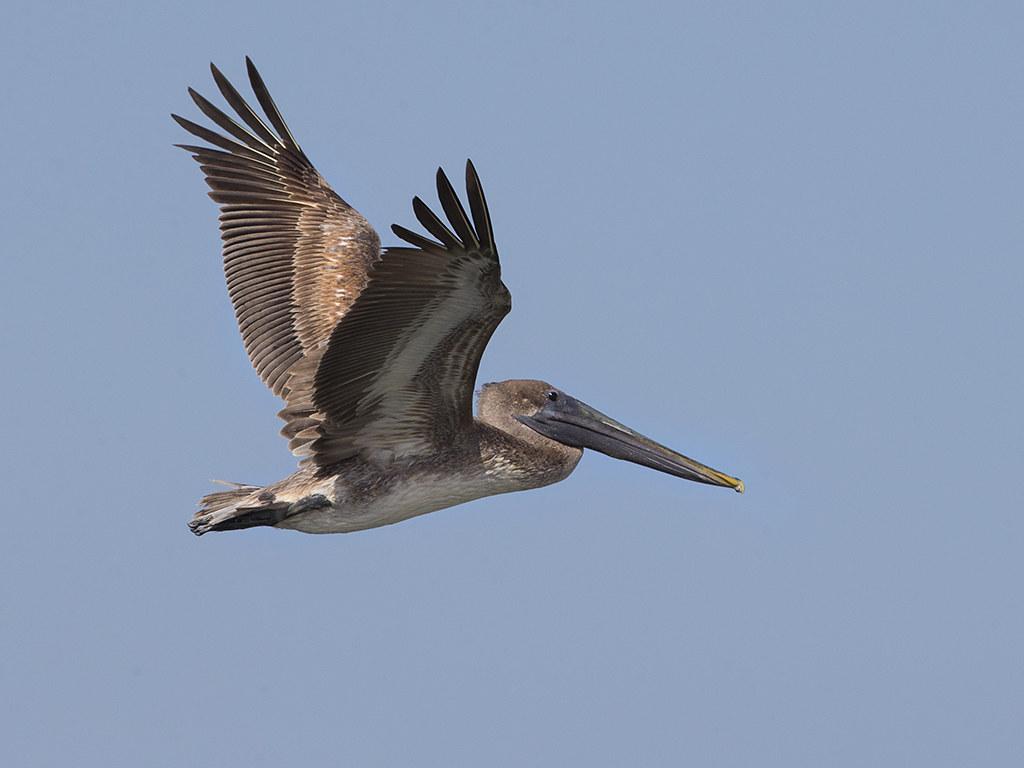 Brown Pelican   Cuba
