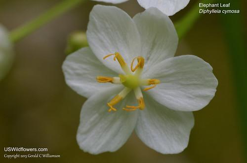 American Umbrella Leaf, Umbrella-leaf - Diphylleia cymosa