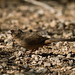 Small photo of Abert's Towhee (Pipilo aberti)