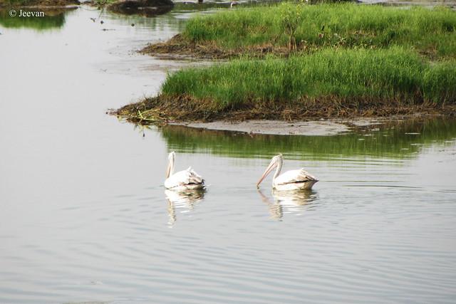 Spot-Billed Pelicans @ Kovalam.