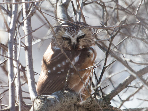 Northern Saw-whet Owl with mouse