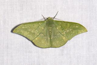 Tanaorhinus malayanus