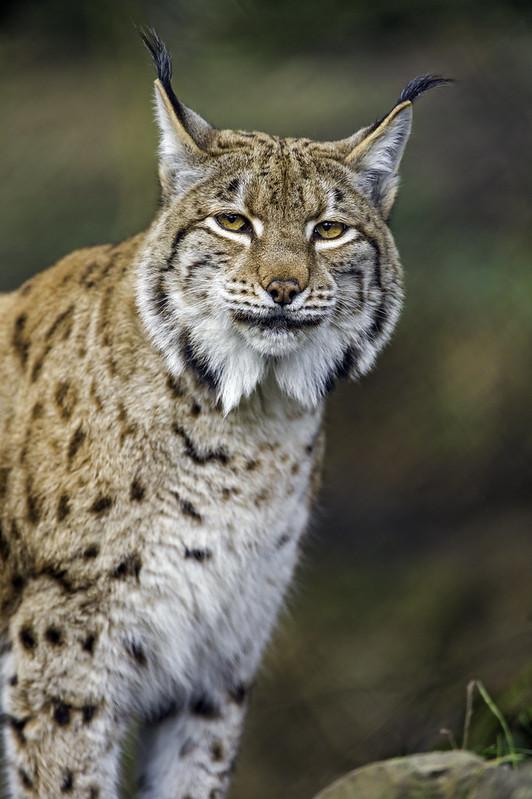 A very pretty lynx posing!