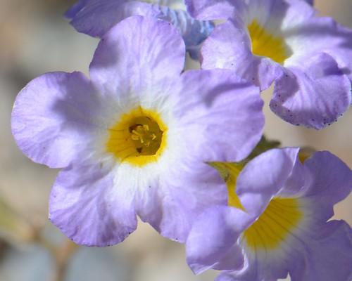 Fremont Phacelia