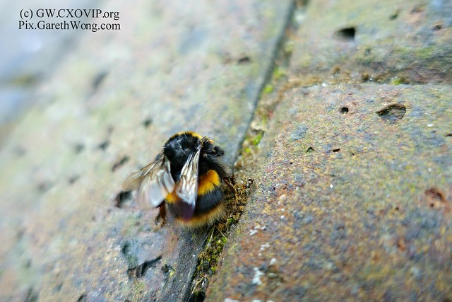 what inscects can you spot (3) on this bee from RAW _DSC8472