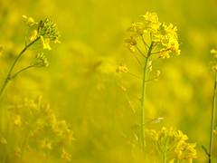 Yellow field of mustard