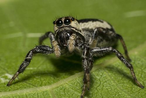 Papa-moscas (Salticidae) f