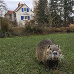 The Alsace region of France held all sorts of surprises, including a run-in with a family of river rats during a morning run along the rivers and canals outside of Colmar, France. This guy is a coypu or nutria (in French, ragondin). That orange thing is n