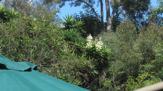 IMG_5661 Yucca flowering backyard
