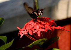 Crimson rose butterfly (Coimbatore garden)