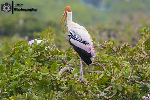 2016 birdsanctuary birds bokeh dof depthoffield india january2016 landscape nikkor70200mm nikon nikond810 photography rvk rvkphotography southindia tamilnadu vedanthangal vedanthangalbirdsanctuary in paintedstork rvkphotographycom