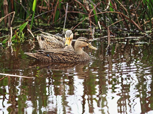 Mottled Ducks 20160221