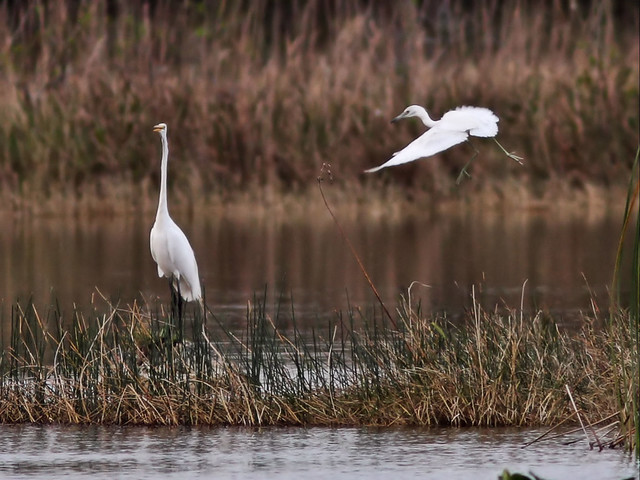 Little Blue Heron attacks Great Egret 20160308
