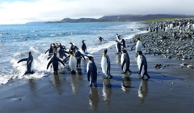 King Penguins, Salisbury Plain/Elsehul Bay, South Georgia