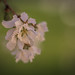86/366 - Branches / Spring Bloom by Ravi_Shah