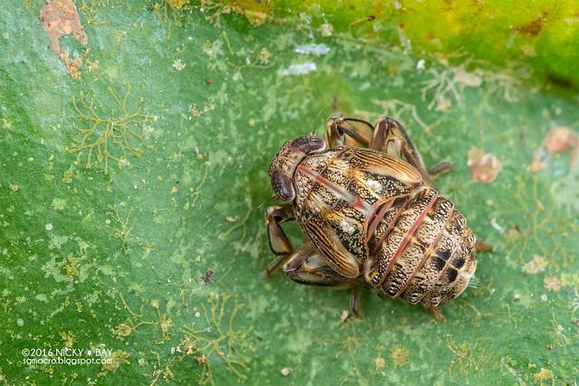 Planthopper nymph (Fulgoromorpha) - DSC_8080
