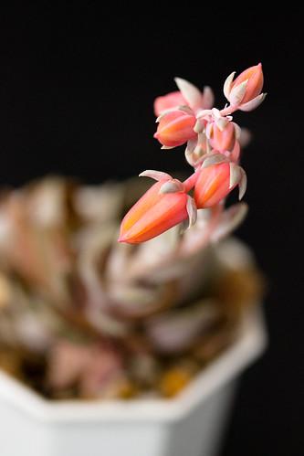 E. rosularis