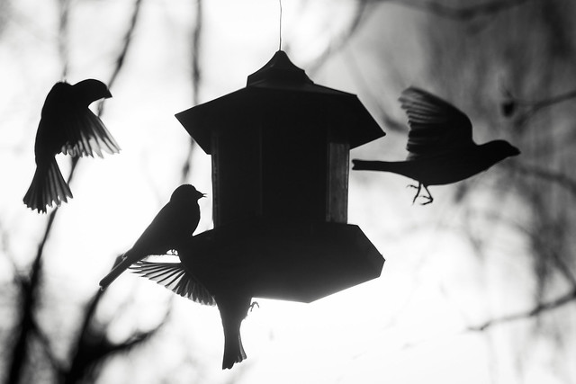 Birds at feeder - Toronto High Park, ON, Canada
