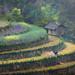 Gặt luá by Khoalinh