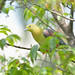 White-bellied_Green_Pigeon_6201 by alder_tw