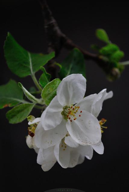 apple blossom dark