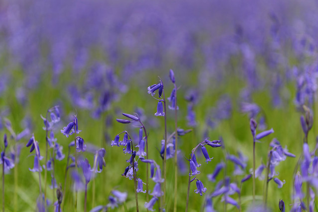 Bluebells_at_Kew_20150424_04