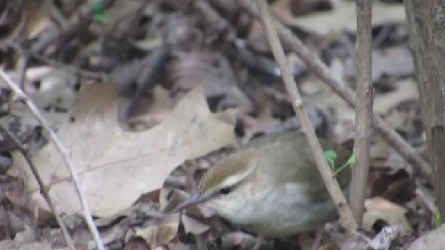 Swainson's warbler Central Park