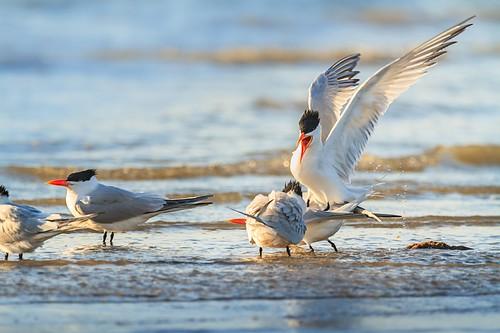 beach sunrise texas birding sanctuary royalterns shorebirds bolivarpeninsula squabbling 600mm