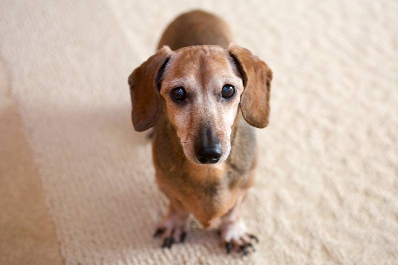 chloe miniature dachshund