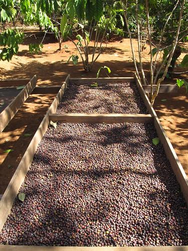 Plateau des Bolovens: graines de café qui sèchent chez Mr Vieng