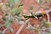 دوده worm