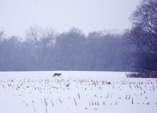 A coyote hunting in the distance