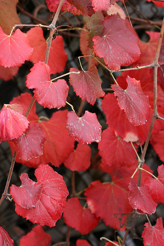 vitis rogers red