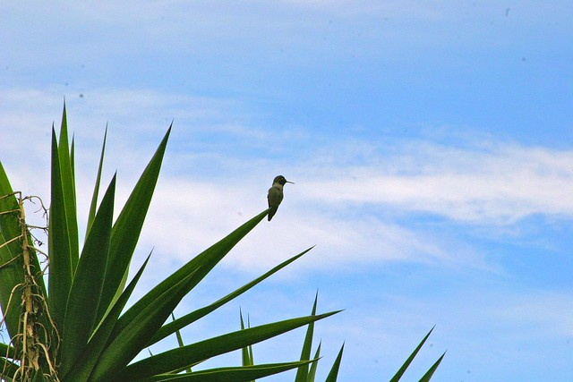 hummingbird and yucca