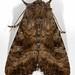 09454 Loscopia velata - Veiled Ear Moth 1 (19TL) by MO FunGuy